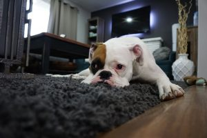Bulldog Laying On The Floor