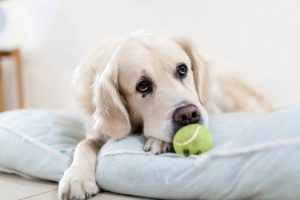 White dog with a tennis ball lying on a pet bed
