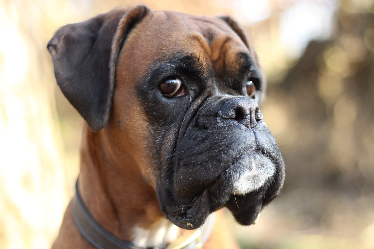 The 8 Best Dog Food For Boxers In 2020 Dogsrecommend