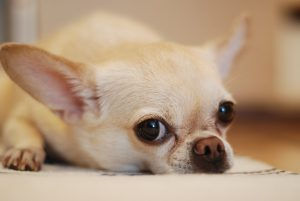 What Special Nutritional Needs Do Small Dogs