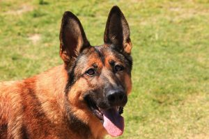 Photo Of The German Shepperd