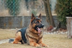German Shepperd Photo Of The Dog