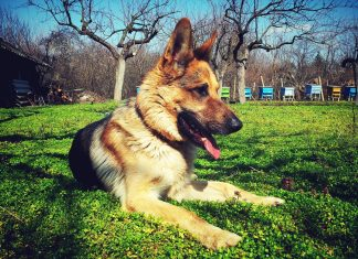 German Shepperd on The Grass