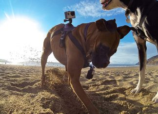 dog with gopro on the beach