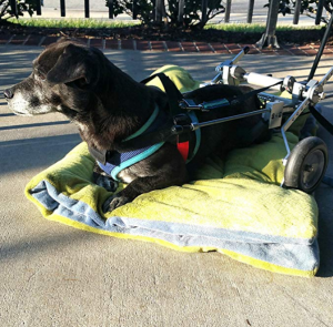 Dog Rests in a Best Friend Mobility SitGo Pet Wheelchair