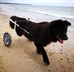 Black dog on a dog wheelchair running on the seashore