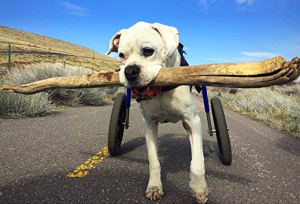 Walkin' Wheels Dog Wheelchair for Large Dogs 70-180 Pounds