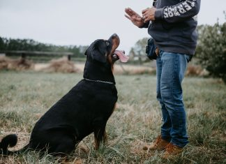 photography of man training a rottweiler