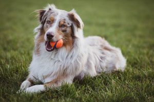 A dog laying with the orange ball on the grass