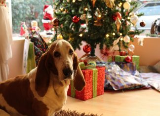 Basset Hound near the Christmas tree