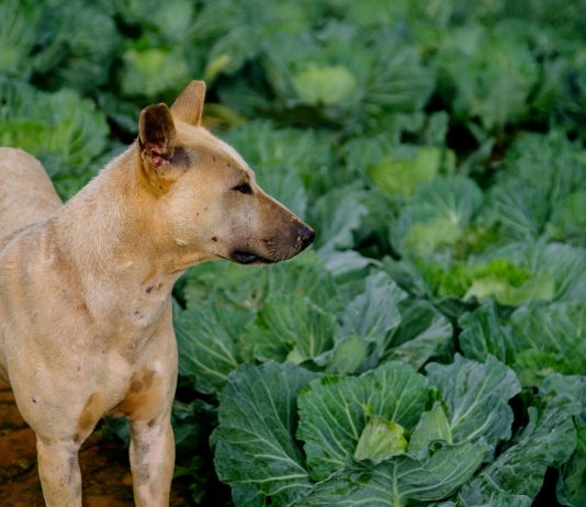 Thai dog at cabbage farm on highlands of Thailand