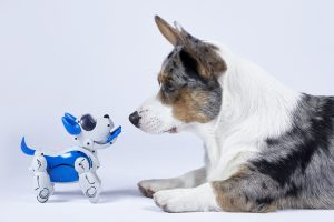 Corgi dog with a robotic interactive toy dog