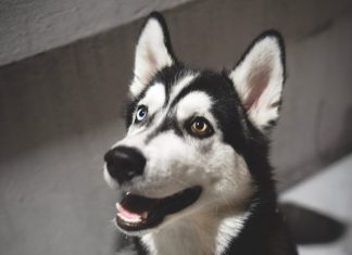 Close Up of Siberian Husky