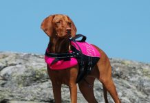 Photo of Hungarian Vizzla in Life Jacket