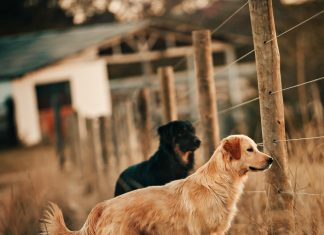 Two Dogs Near Fence