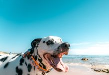 Happy Dalmatin Dog On The Seashore
