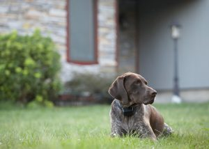 german shorthaired pointer dog sitting in front of house