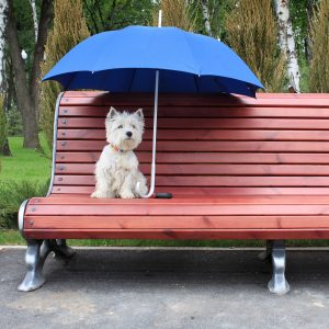 west highland white terrier westie dog female on a wooden bench in park under the blue umbrella
