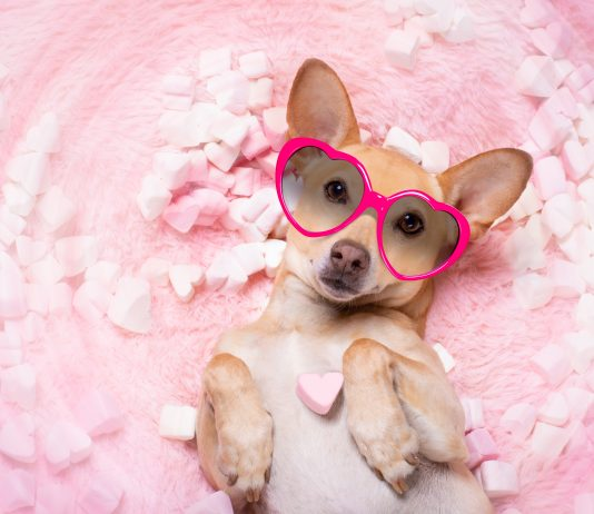 chihuahua dog looking and staring at you ,while lying bed full with marshmallows in love, for valentines or wedding pink rose in mouth