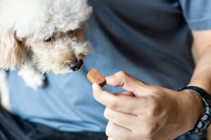 Person feeding poodle pet dog with preventive heartworms chewable