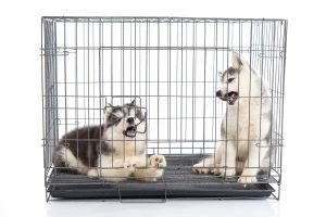 Cute siberian husky puppies in the cage on white background,isolated