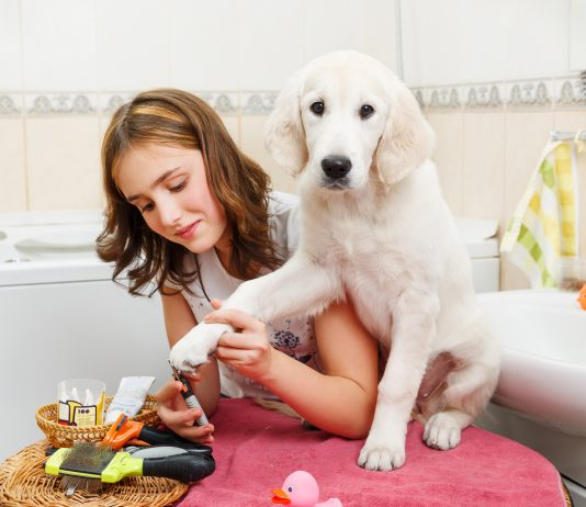 Girl owner is making manicure of retriever puppy after shower