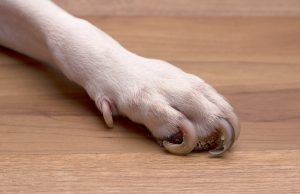 A dog's paw wiht very overgrown toe nails