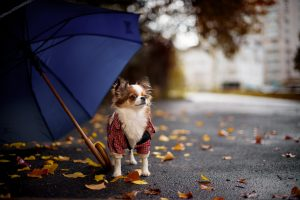 Dog Under The Umbrella in the Rainy Day