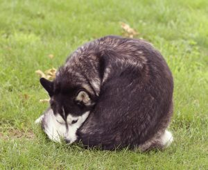 Husky dog chewing his butt