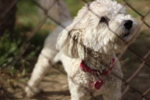 White toy poodle standing behind the wire fence