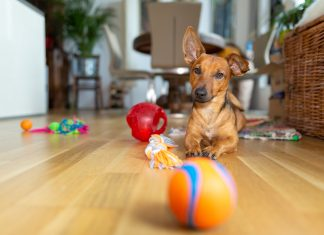Dachshund dog playing with dog toys and ball indoors