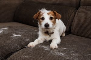 FURRY JACK RUSSELL DOG, SHEDDING HAIR DURING MOLT SEASON PLAYING ON SOFA
