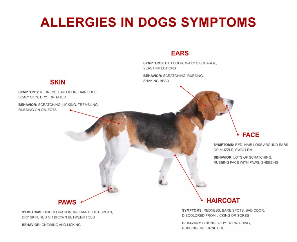 Cute dog and list of allergies symptoms on white background