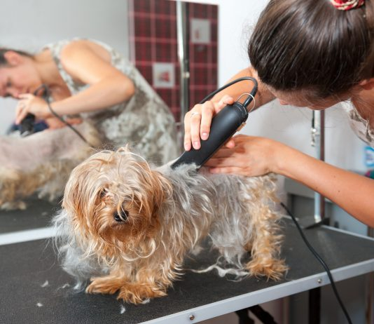 Female groomer haircut Yorkshire Terrier
