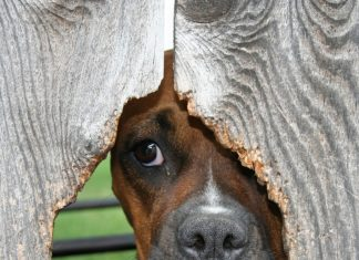 Dog Looking at the Fence Hole