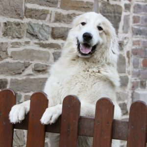 Labradoodle Standing Behind Dog Gate