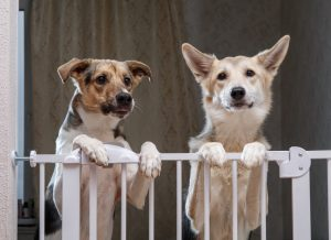 Two Dogs Standing Behind Dog Gate