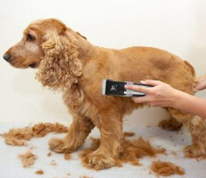 Red Spaniel dog grooming with clippers