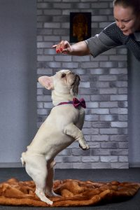 White bulldog trained to stand on the rear paws