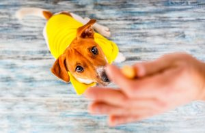 a small dog in a yellow coat is trained with a treat