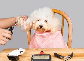 Person grooming white poodle dog