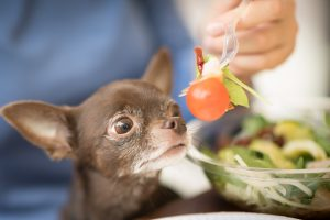 Person Feeding Small Brown Chihuahua with Fruit Salad