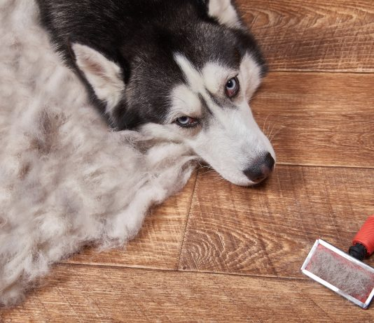 Husky dog lying on the hardwood floor next to the pile of fur and a pet grooming brush