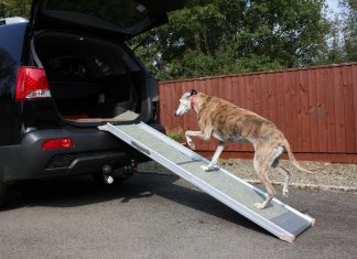 dog walking up ramp into car