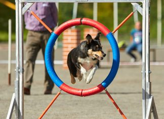Dog jumping on an agility training tire on a dog playground. jumping through a hurdle at dog agility training.