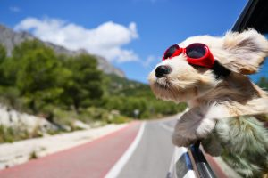 Happy dog wearing goggles rides in a car