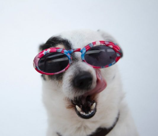 Close Up of Dog Wearing Sunglasses