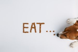 "Jack russell or small dog breeds on white background and eats food laid out in the form of the word ""eat"""