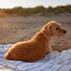 Dog on Blanket on the Beach