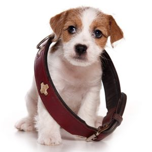 Small Dog in a Big Collar